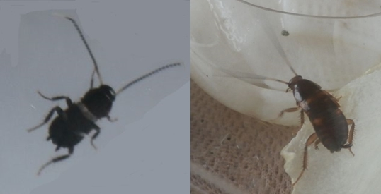 ゴキブリの赤ちゃんがいっぱい!成長速度って早い?駆除するには